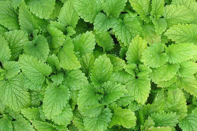 La forskoline une plante efficace pour perdre du poids