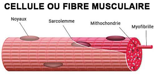 cellule-musculaire
