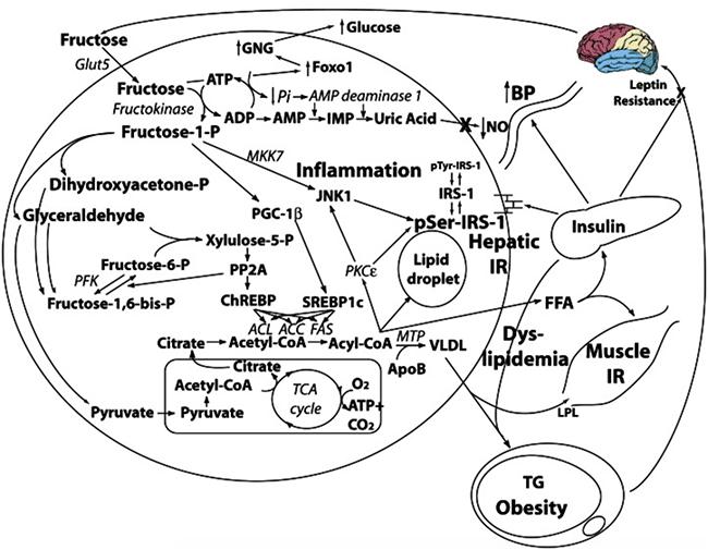 metabolisme-fructose