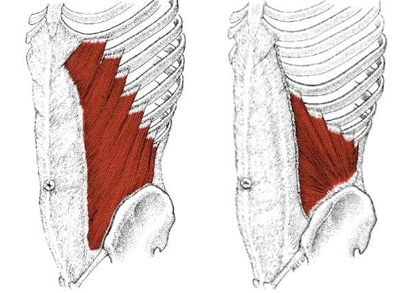 muscle-grands-et-petits-obliques-anatomie