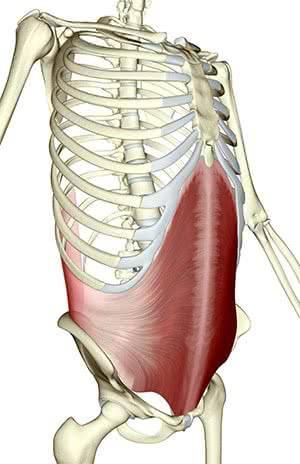muscle-transverse-anatomie