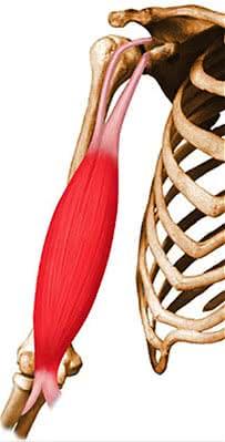 Anatomie du muscle biceps brachial