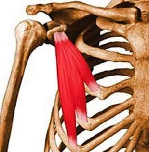 Anatomie des muscles pectoraux