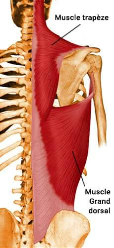 Anatomie des muscles du dos