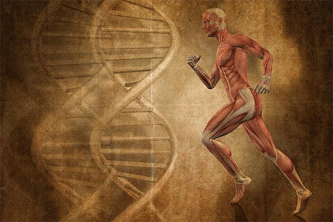 Une étude prouve que la mémoire musculaire se développe dans l'ADN