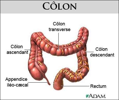 anatomie-colon