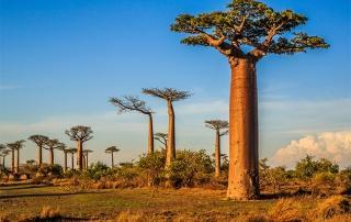 photo-baobao-arbre-tonifiant