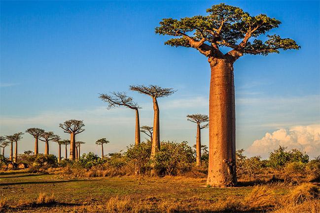 Le baobab : arbre tonifiant et anti-douleur